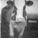 Семенкино корова Белка  1970 - е